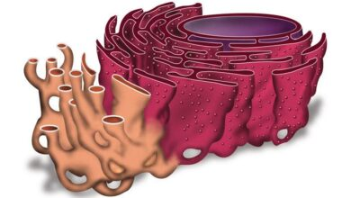 تنقل الشفرة الخاصة بصنع البروتين إلى الرايبوسومات بواسطة