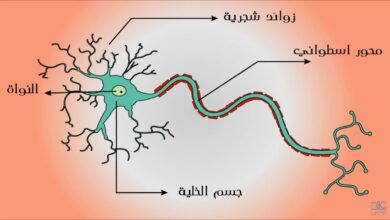 تفصل بين كل عصبون و العصبون الذي يليه مسافة صغيرة تسمى
