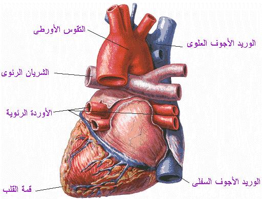 عدد حجرات القلب في الطيور