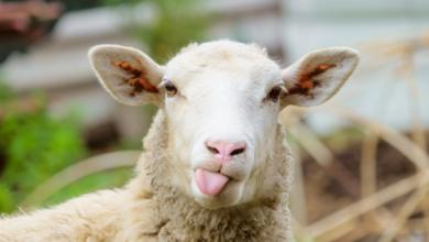 خروفي خروفي لابس بدله صوفي كلمات