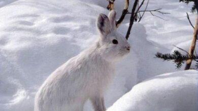 اي الاعوام شهد اعلى اعداد الارانب الثلجيه